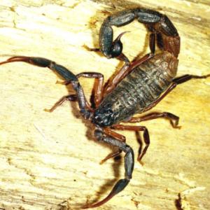 Venom Hottentotta Zagrosensis